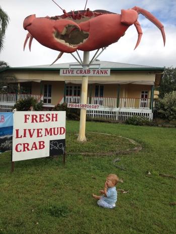 Big Mud Crab - Cardwell